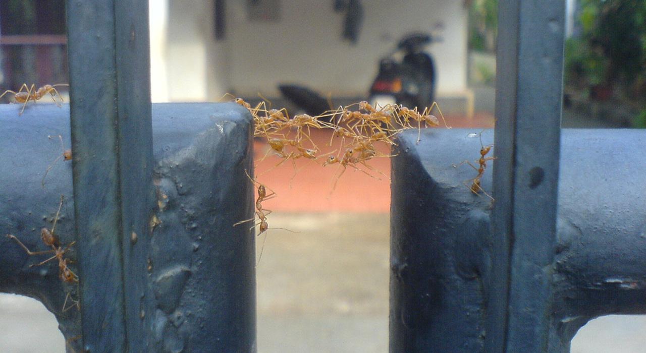 Altruistic Ants